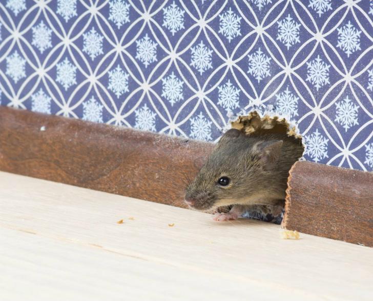 грызут ли мыши гипсокартон